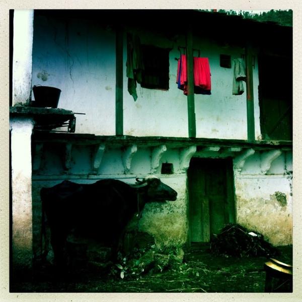 Büffel im Dorf